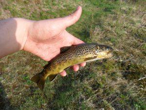 Den største av dagens fangst på fire fisk