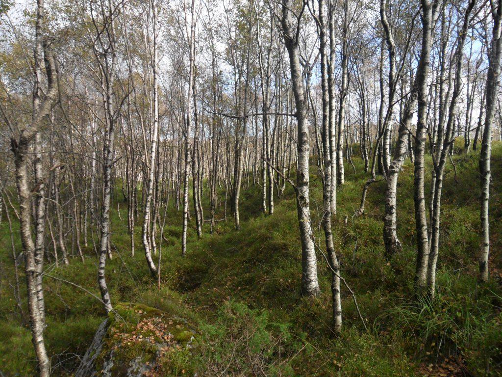 Fin bjørkeskog